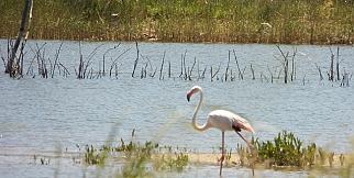 Gülşehir'de Flamingolar
